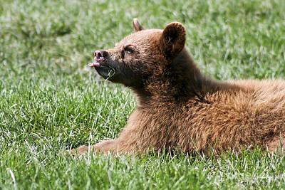 Black Bear Cub I Poster