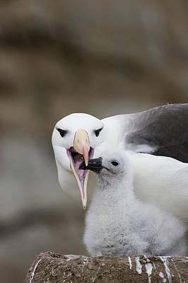 Black Browed Albatross Preparing Poster