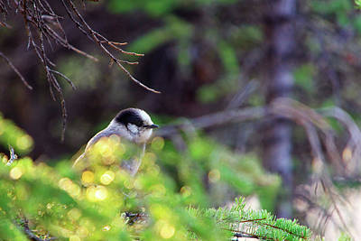 Black Capped Chicadee Poster