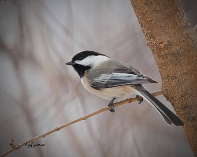 Black Capped Chickadee Poster by Jeff Swanson