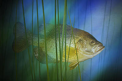 Black Crappie Fish No.0155 Poster by Randall Nyhof