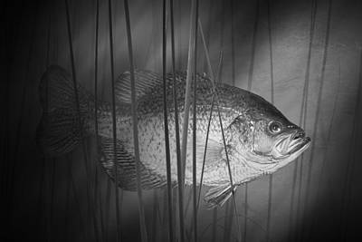 Black Crappie Or Speckled Bass Among The Reeds Poster by Randall Nyhof
