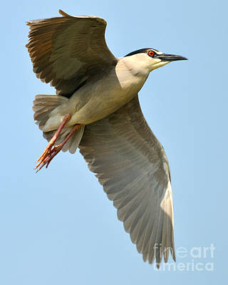 Black Crown Night Heron Poster