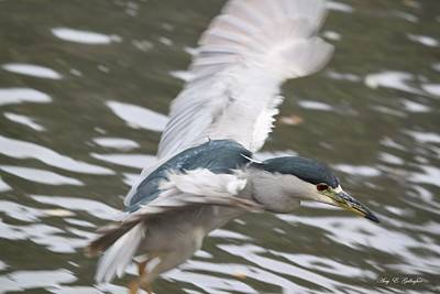 Poster featuring the photograph Black Crowned  Night Heron by Amy Gallagher