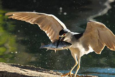 Black-crowned Night Heron Poster by Dung Ma