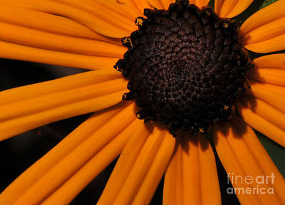 Black-eyed Susan Poster by Paul Ward