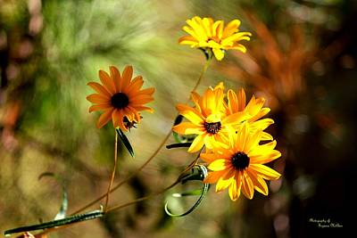 Black Eyed Susans Poster by Suzanne  McClain