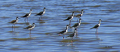 Poster featuring the photograph Black-neck Stilt Dressed In Their Best by Roena King