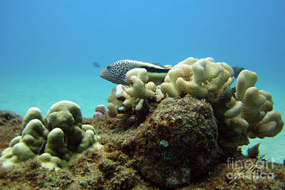 Poster featuring the photograph Black Side Hawkfish by Suzette Kallen