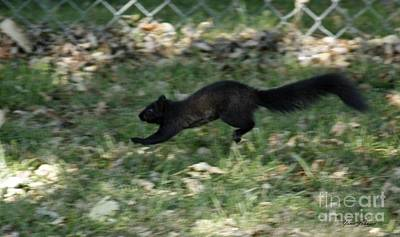Poster featuring the photograph Black Squirrl On Run by Yumi Johnson
