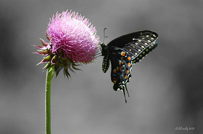 Black Swallowtail And Thistle Poster