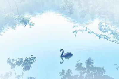Black Swan Floating On Mist Lake Poster by Lawren