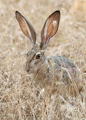 Poster featuring the photograph Black-tailed Hare by Doug Herr