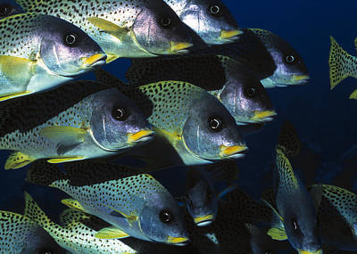 Blackspotted Rubberlip Fish Poster by Georgette Douwma