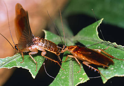 Blattellid Cockroach Courtship Poster by Dr George Beccaloni