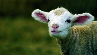 Bleating Lamb Poster