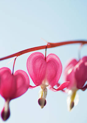 Bleeding Heart Flower Poster by Karin A photography