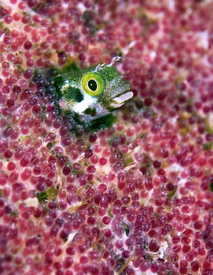 Blenny Fish Eggs Poster by Copyright Michael Gerber