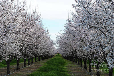 Blooming Orchard Poster