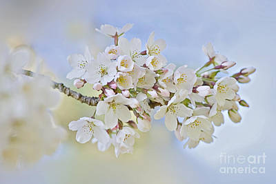 Blossom In Spring Poster by Jacky Parker