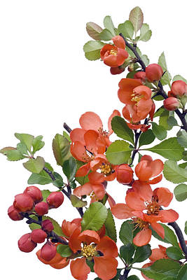 Poster featuring the photograph Blossoming Japanese Quince Chaenomeles by Aleksandr Volkov