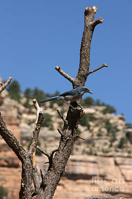 Blue Bird Grand Canyon National Park Arizona Usa Poster by Audrey Campion