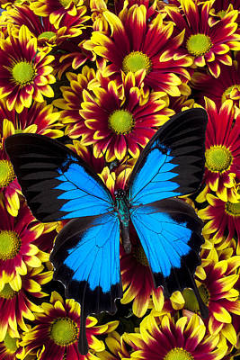 Blue Butterfly On Yellow Red Mums Poster by Garry Gay