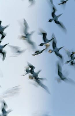 Blue-footed Booby Sula Nebouxii Flock Poster by Winfried Wisniewski
