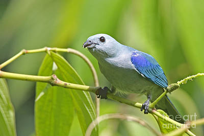 Blue-grey Tanager Poster