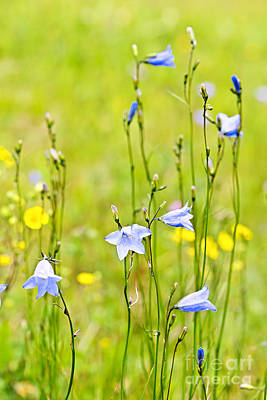 Blue Harebells Wildflowers Poster