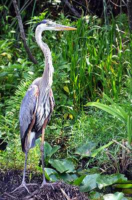 Poster featuring the photograph Blue Heron At The Everglades by Pravine Chester