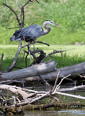 Blue Heron At The Lake Poster by Debbie Hart