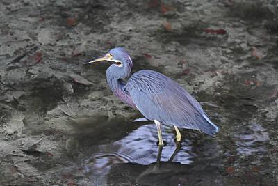 Blue Heron In Estero Bay Poster