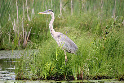 Blue Heron In Grasses Poster by Brook Burling