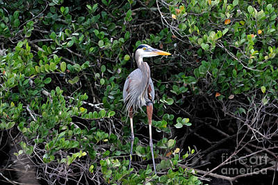 Poster featuring the photograph Blue Heron In Tree by Dan Friend