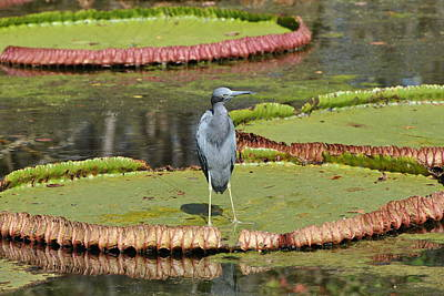 Poster featuring the photograph Blue Heron On Giant Lilly Pad by Jodi Terracina