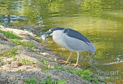 Blue Heron With Fish Poster by J Jaiam