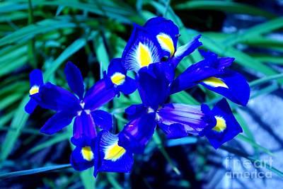 Blue Iris Poster by AmaS Art