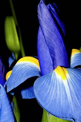 Blue Iris Garden Poster by Carolyn Marshall