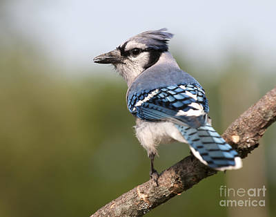 Blue Jay Poster by Art Whitton