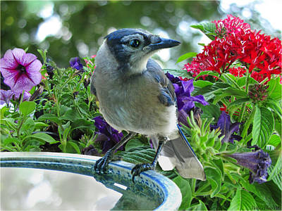 Poster featuring the photograph Blue Jay At Water by Debbie Portwood