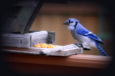 Poster featuring the photograph Blue Jay On Backyard Feeder by Kay Novy