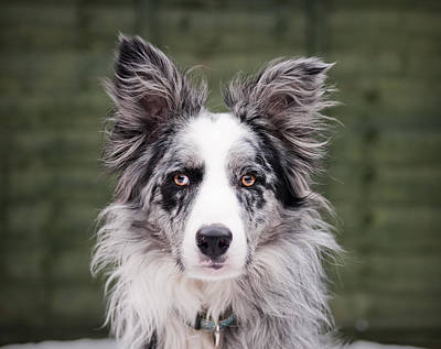 Blue Merle Border Collie Poster