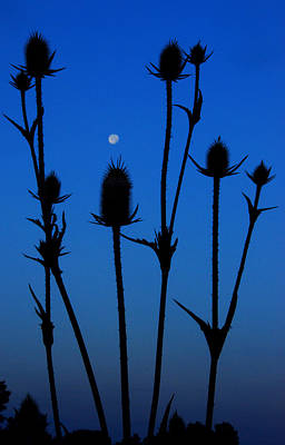 Blue Moon Thistle Poster
