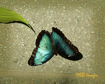 Blue Morpho 1 Poster by Margaret Buchanan