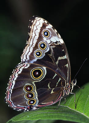 Blue Morpho Butterfly Poster by Natural Selection Ralph Curtin