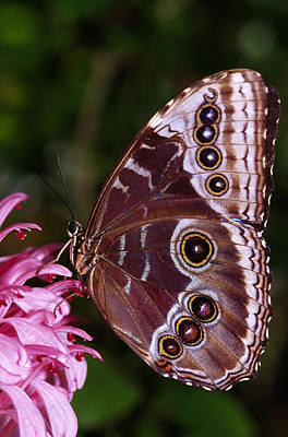 Blue Morpho Butterfly On Flower Poster