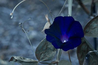 Blue Petunia 2 Poster