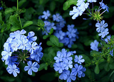 Poster featuring the photograph Blue Plumbago by Barbara Middleton