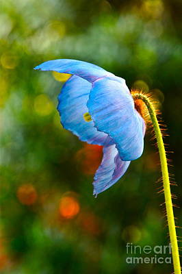 Blue Poppy Dreams Poster by Byron Varvarigos